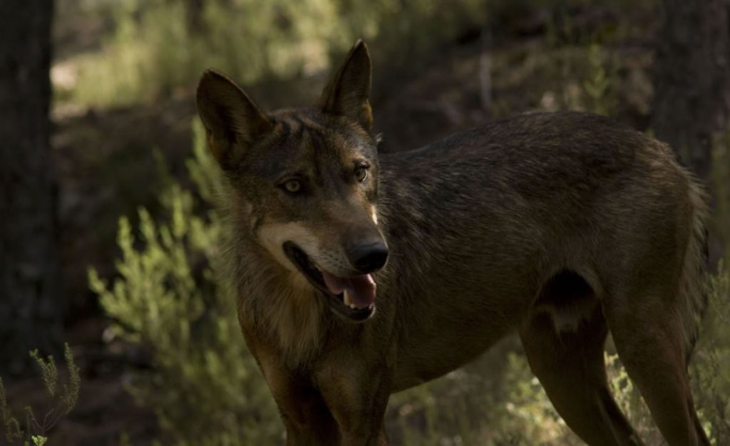 centro del lobo iberico zamora