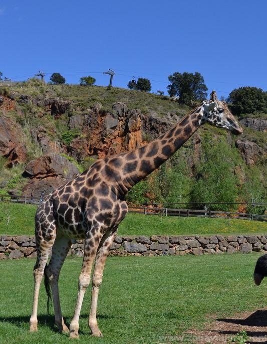 cabarceno jirafa