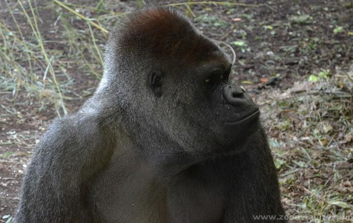 orangutan cabarceno