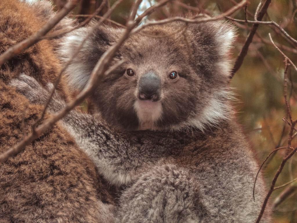 Koalas por la carretera
