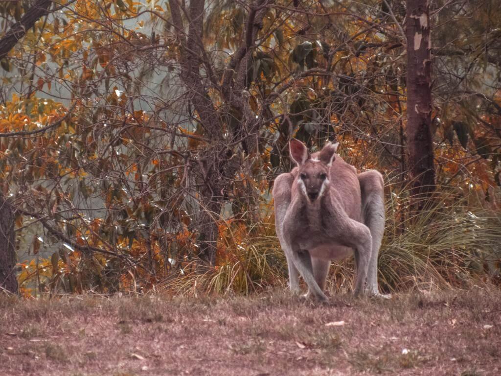 canguros en estado salvaje Australia