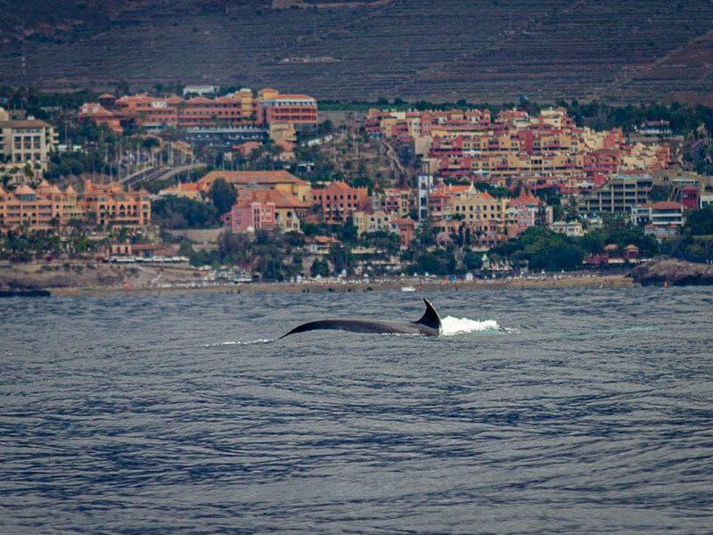 Avistamiento de Cetáceos, Tenerife